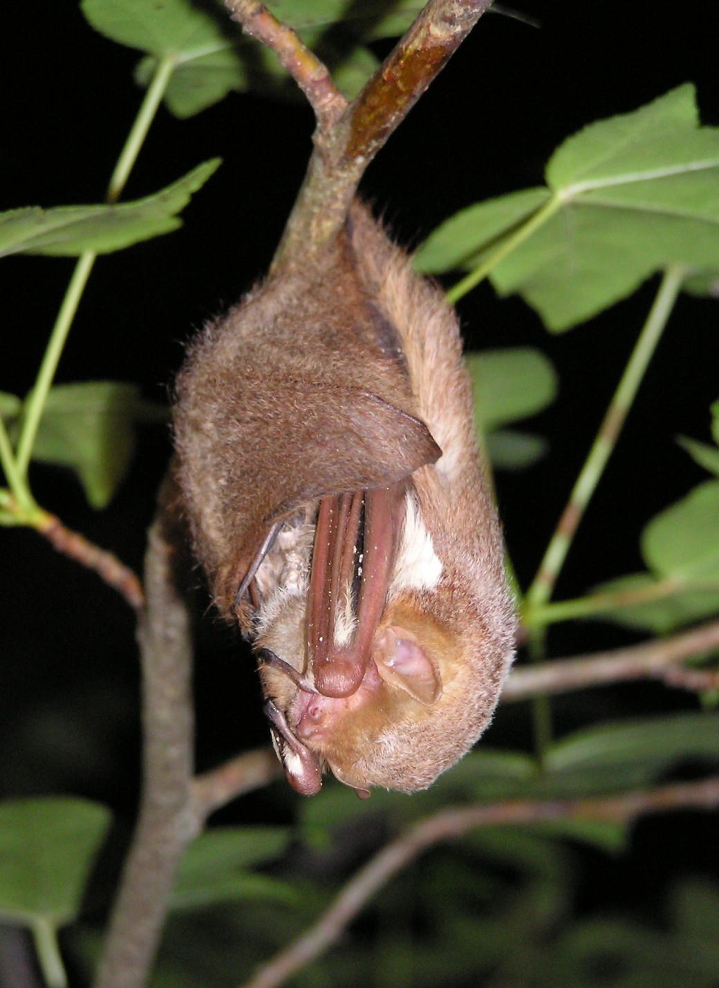 Hanging Red Bat